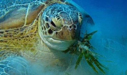 La UICN reclama a los países del Mediterráneo que refuercen la protección de las tortugas y reduzcan sus amenazas