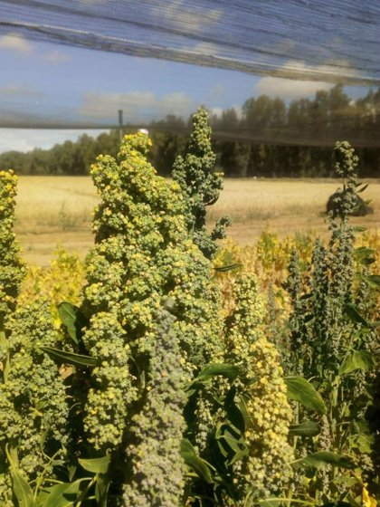 Investigadores presentan en un congreso internacional un estudio de variedades de quinoa adaptadas a Extremadura