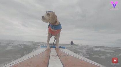 Conoce a Scooter, el perro de terapia que tan pronto ayuda a pacientes con demencia como entrena practicando surf