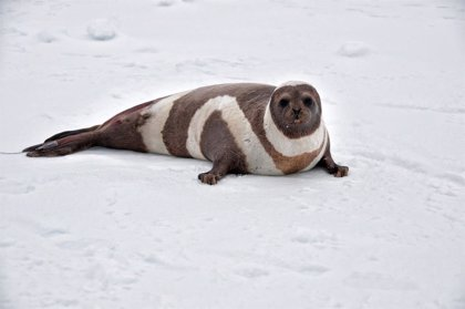 La IA ayuda a controlar las poblaciones de mamíferos amenazados del Ártico