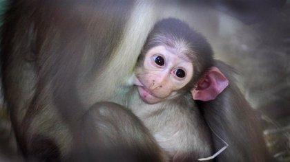 Sigue el 'baby boom' de Bioparc: nacen una cría del 'mono de la raya en el ojo' y mangostas enanas