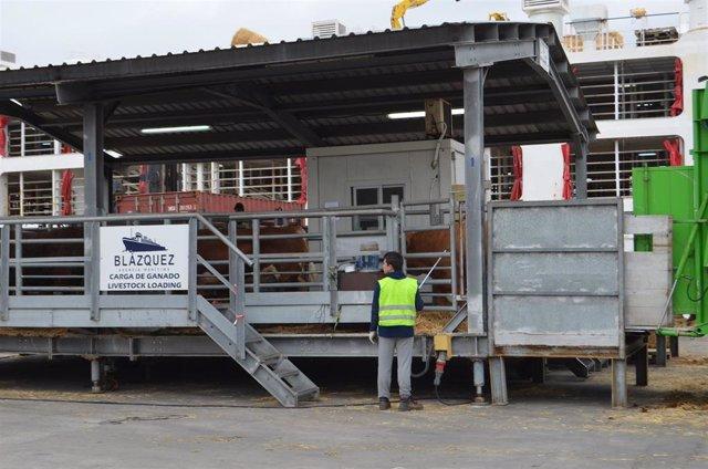El puerto de Cartagena aumenta un 87% la exportación de ganado vivo en el primer semestre