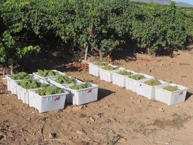 Vendimia de uva blanca