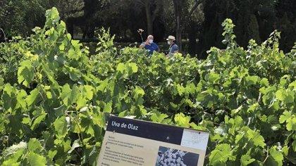 Madrid reúne 3.700 variedades de vid, la colección más importante de España y la segunda de Europa