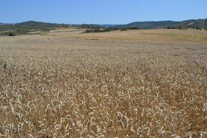 ¿Por qué aumenta el número de celíacos? ¿Hay más gluten en el trigo? Esto dice un estudio