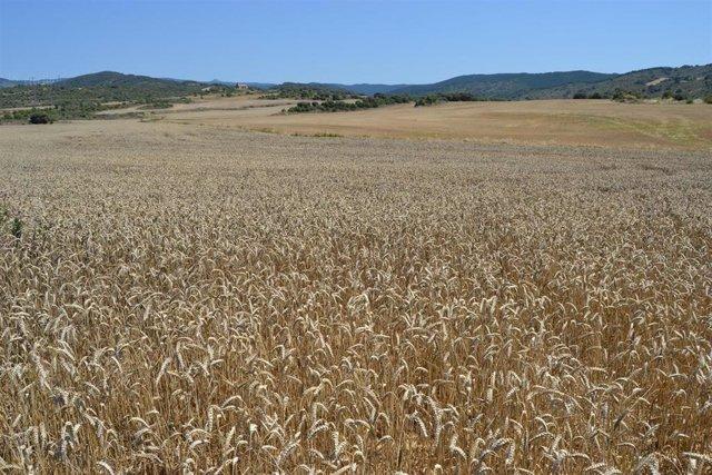Mondelez recoge 27.000 toneladas de trigo en la cosecha de este año con su proyecto sostenible 'Compromiso Harmony'