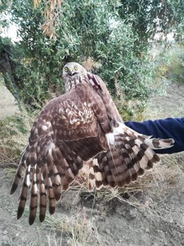 Aguilucho cenizo marcado con GPS por el programa MIGRA de SEO/BirdLife.