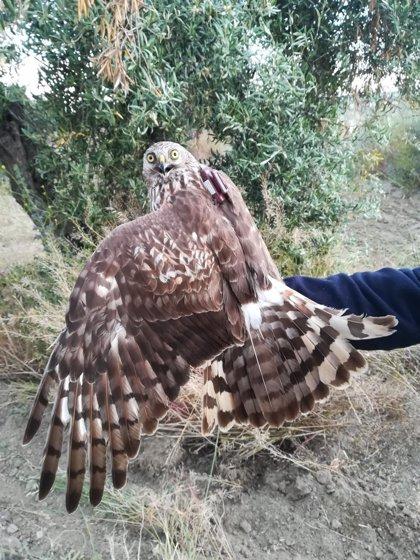 El programa MIGRA de SEO/BirdLife marca 49 aves migratorias con GPS para conocer sus movimientos por el mundo