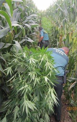 Desmantellen una plantació de marihuana en un camp de blat de moro de Sant Pere Pescador (Girona)