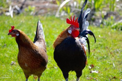 Los pollos domésticos tienen cerebros más pequeños