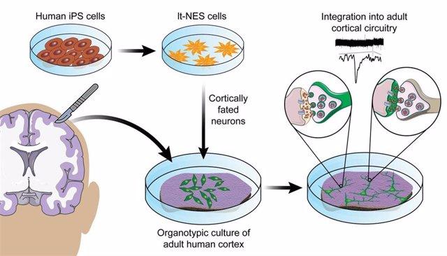Las células madre neuroepiteliales (It-NES) convertidas en neuronas corticales, capaces de formar redes sinápticas en el cultivo celular, se diferencian y maduran cuando se trasplantan ex vivo en cultivos organotípicos de corteza cerebral de un adulto