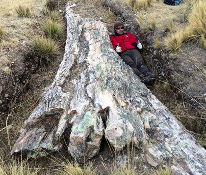 Drástico cambio ambiental grabado en un árbol fósil de los Andes