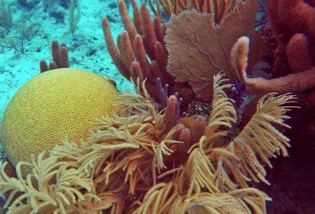 Los corales blandos, beneficiados por el calentamiento de los océanos