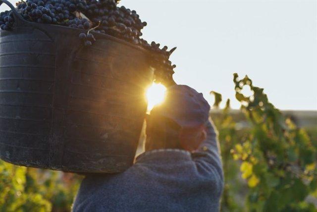 La vendimia ha finalizado en La Rioja, con esperanza en el Consejo Regulador de que sea un 'año memorable'