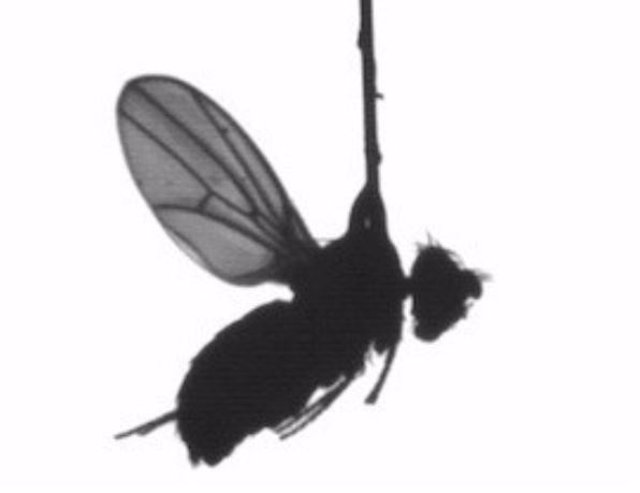 Revelados los secretos de la visión de la mosca para su vuelo único