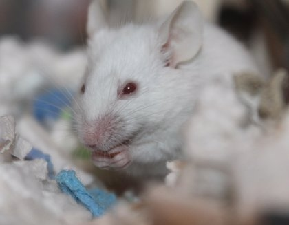 Un estudio en ratones que identifica un mecanismo que provoca infertilidad