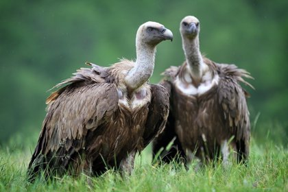 ONG destacan en el Día Internacional de los Buitres, que se celebra mañana, la recuperación de la especie en España