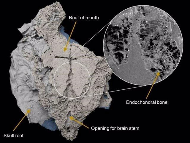 Modelo virtual tridimensional de la caja cerebral de Minjinia turgenensis generado a partir de una tomografía computarizada. El recuadro muestra datos de escaneo sin procesar que muestran el hueso endocondral esponjoso en el interior.