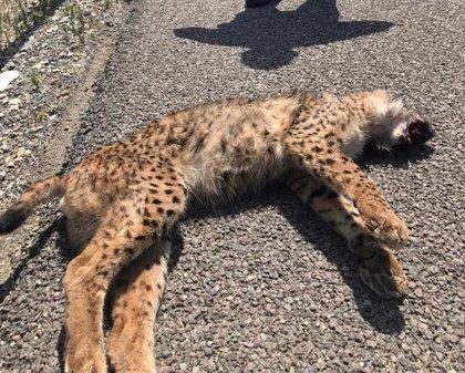 Fallece un lince atropellado en un camino asfaltado de Puebla del Río (Sevilla)