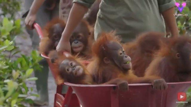 Estas crías de orangután huérfanas van a la guardería en carretilla para aprender a sobrevivir en la naturaleza
