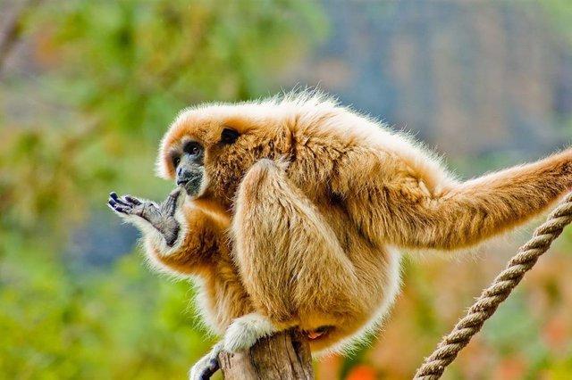 Un eslabón perdido en el registro fósil de los simios, hallado en India