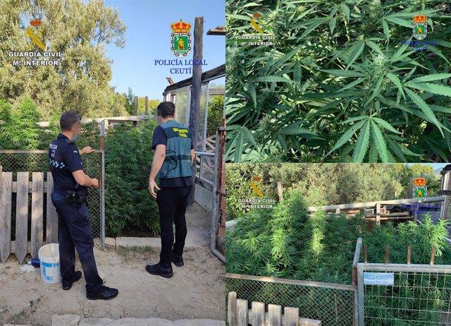 La Guardia Civil y la Policía Local de Ceutí desmantelan una plantación de marihuana