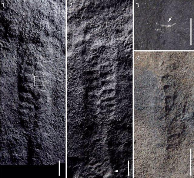 Hallan fósíles de animales con forma de hoja de 550 millones de años