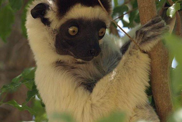 Una de las muchas especies de mamíferos que se encuentran actualmente en peligro de extinción: el sifaka de Verreaux (Propithecus verreauxi), en peligro crítico de extinción.