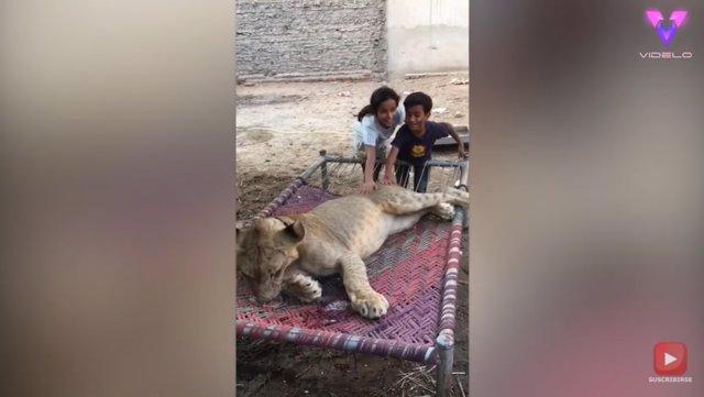 Un amante de los animales convierte su jardín en un zoológico al convivir con leones y avestruces