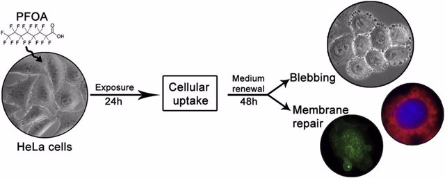 La exposición de células humanas (HeLa) al ácido perfluorooctanoico (PFOA) durante 24h permite su incorporación a las células.