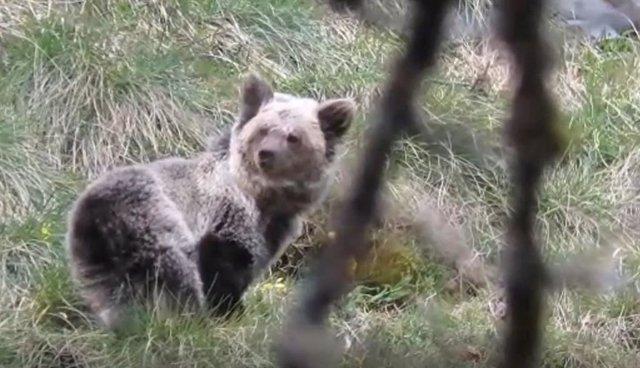 Ejemplar hembra de oso cantábrico