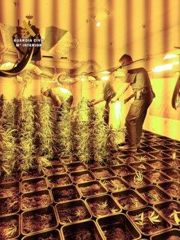 Plantación de marihuana en Arcos