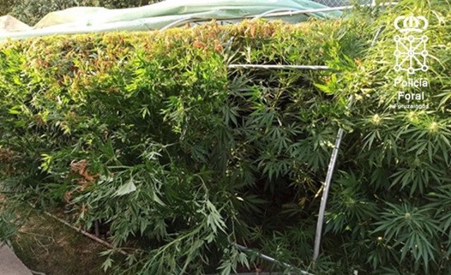 Parte de las plantas de mariahuana requisadas