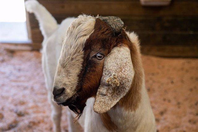"""Una de las cabras """"padre sustituto"""" en el campus de Washington State"""