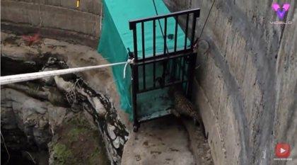 Un grupo de voluntarios rescata a un cachorro de leopardo atrapado en un pozo de más de 9 metros