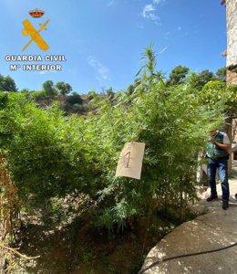 Sucesos.- Intervenidas 23 plantas de marihuana en el monte y un huerto de Letur
