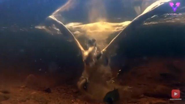 Capturan en vídeo el momento preciso en que un águila pescadora atrapa a una trucha bajo el agua