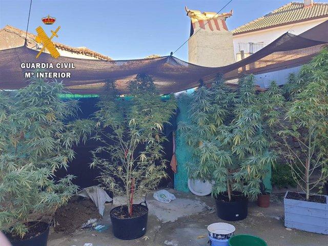 Una de las plantaciones de marihuana descubiertas por la Guardia Civil.