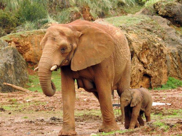 Elefanta nacida en Cabárceno el 22 de febrero de 2020