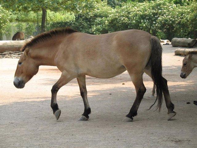 El Asian Przewalski, o caballo de Prezewalski, es el único descendiente vivo de los caballos previos a la domesticación.