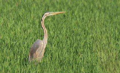 Un total de 37 especies de aves acuáticas se han reproducido en l'Albufera en 2020