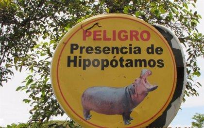 La Justicia colombiana estudia una petición para contener la invasión de los hipopótamos de Pablo Escobar