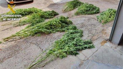 Investigan a una persona por un delito de cultivo y elaboración de drogas en Barajas de Melo (Cuenca)