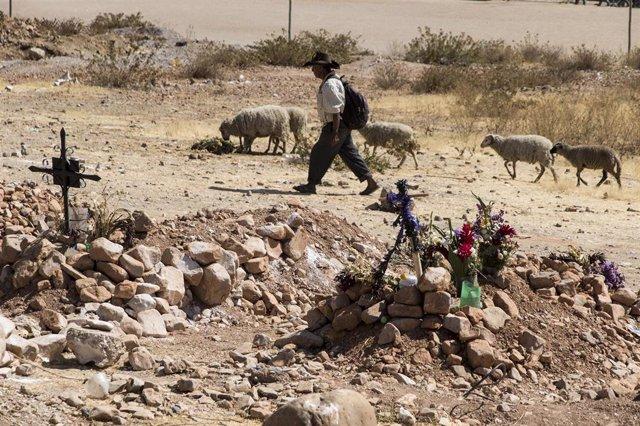 Un pastor pastorea a sus ovejas en un cementerio que alberga víctimas mortales a causa de la COVID-19 en Cochabamba, Bolivia.