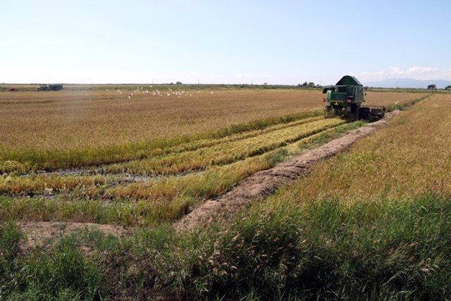 Pla general de la segadora segant l'arròs en un dels arrossars del delta de l'Ebre. Imatge del 19 de setembre del 2020 (Horitzontal).