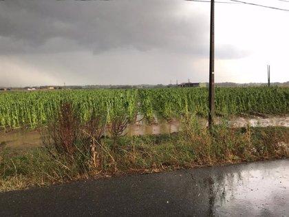 Asaja calcula que el granizo ha destrozado otras 1.200 hectáreas de tabaco en Losar y Valverde de la Vera