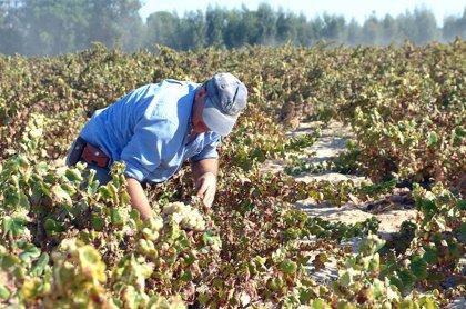 El Consejo Regulador del Condado de Huelva prevé la pérdida del 63% de la cosecha en la vendimia de este año