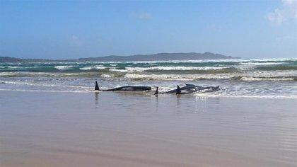 """Las autoridades australianas rescatan a un """"pequeño número"""" de las 270 ballenas piloto varadas en Tasmania"""