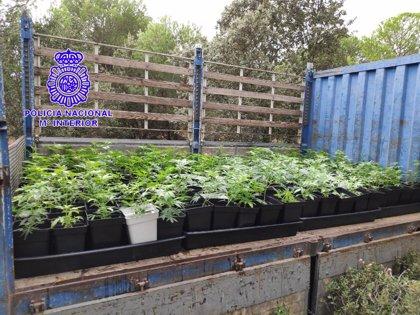 Localizado medio millar de plantas de marihuana en un pinar de Medina del Campo