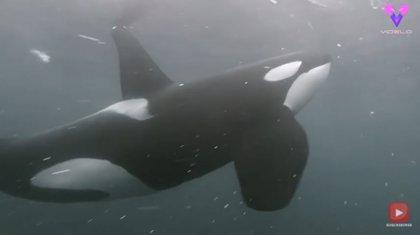 Tras cinco años de intentos, este fotógrafo consigue filmar de cerca a un grupo de orcas